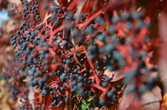 Wild wine autumn Stock Photos