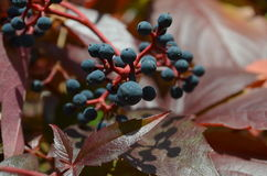 Wild wine autumn Stock Photography