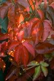 Wild wine in autumn Royalty Free Stock Photo