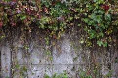 Wild wine covering a concrete wall Royalty Free Stock Photography