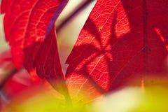 Wild wine leaf vein red Royalty Free Stock Photo