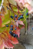 Wild wine - leaves and berries Royalty Free Stock Image