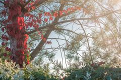 Wild wine on a pine that has turned red in autumn stock photos