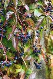 Wild wine plant fruits Stock Images