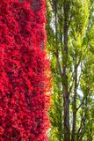 Wild wine red foliage contrast to green trees. An image of a wild wine red foliage contrast to green trees stock images