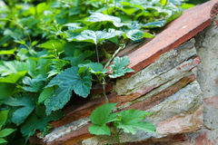 Wild Wine Wall Royalty Free Stock Photos