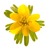 Wild winter aconite Stock Photography