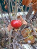 Wild winter berry on a bush. The last berry of the year Royalty Free Stock Photo