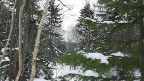 Wild winter forest on Sakhalin. Before the new year stock footage