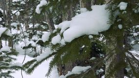 Wild winter forest on Sakhalin. Before the new year stock video