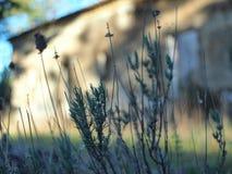 Wild winter lavenders royalty free stock photo