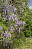 Wild Wisteria in Woodlands. Wisteria vines growing along the edge of woodlands with purple blossom clusters royalty free stock photography