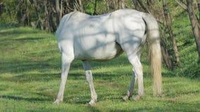 Wild Wit Paard in de Vroege Ochtend stock footage