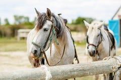 Wild wit paard van Camargue, Frankrijk, Royalty-vrije Stock Foto's