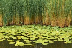 Wild withe waterlilies Royalty Free Stock Photography