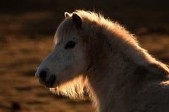 wild wlesh för ponny royaltyfria bilder