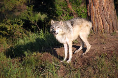 Wild Wolf. Tundra Wolf standing and staring at the camera Royalty Free Stock Images