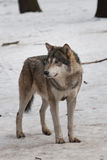 Wild wolf Stock Photos