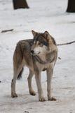 wild wolf Arkivfoton