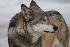 wild wolf Royaltyfri Bild
