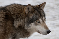 Wild wolf Royalty Free Stock Photos