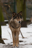 wild wolf Fotografering för Bildbyråer