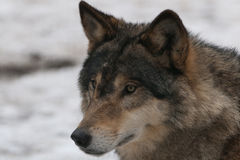 Wild wolf. In a winter forest snow Royalty Free Stock Images