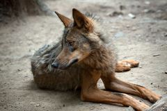 Wild Wolf. Lying wild wolf in the wild Stock Photography