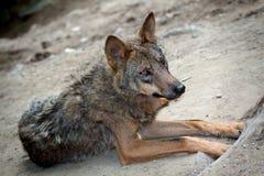 Wild Wolf. Lying wild wolf in the wild Stock Image