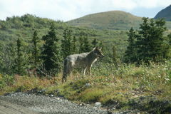 Wild Wolf. A wild wolf in Denali National Park royalty free stock photo