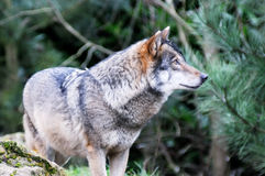 Wild wolf Royalty Free Stock Image