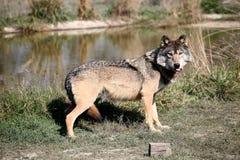 wild wolf Royaltyfria Bilder
