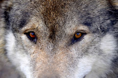 Wild Wolf Eyes. The beautiful stare of a wild wolf Royalty Free Stock Photo