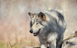 Wild wolf during fall Royalty Free Stock Image