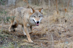 Wild wolf in forest. Grey wild wolf (Canis lupus) in forest Royalty Free Stock Images