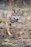 Wild wolf in forest. Grey wild wolf (Canis lupus) in forest Royalty Free Stock Photography