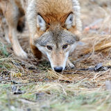 Wild wolf in forest Stock Photography