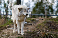 Wild wolf in a forrest Stock Images