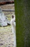 Wild wolf. Hiding behind a tree Stock Photos