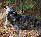 Wild wolf howling Stock Photos