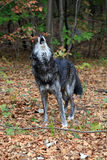 Wild wolf howling Royalty Free Stock Photo