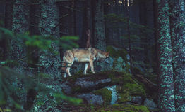 Wild wolf in the nature. Wild of in the nature in Czech National Park Sumava Stock Photos