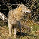 Wild wolf Stock Photos