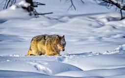 Wild wolf runs toward kill sight in Yellowstone stock photo