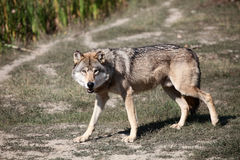 Wild wolf. Standing in the forest Stock Photo