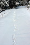 Wild wolf tracks in big snow Stock Image