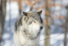 Wild wolf during winter Stock Photo