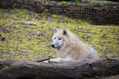 Wild wolf. Wild wold lying and resting in the woods Royalty Free Stock Photo