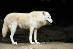 Wild wolf in the woods. Wild white wolf in the dark background Stock Image