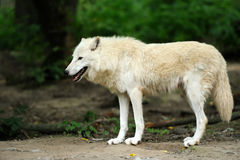 Wild wolf in the woods stock photos
